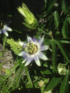 Passion Flower at the side of the track