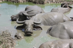 Water buffalo getting out of the heat