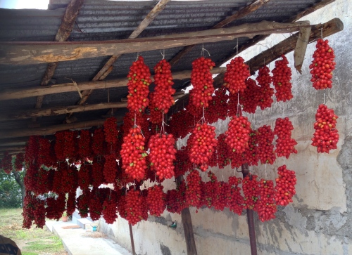 Tomatoes drying for winter use