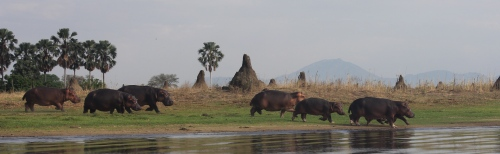 Hippo running into the Shire River at Liwonde, Malawi